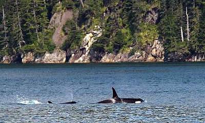 Alaska Orca Tours