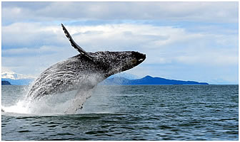 Where and when to see Humpback whales in Alaska.